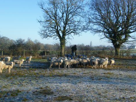 feeding-sheep
