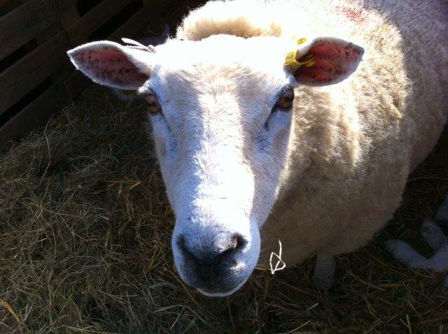 sheep face