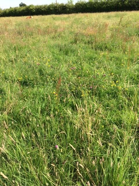 wild flower meadow in field A.JPG